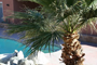 back yard with natural rock water fall, pool, jacuzzi & large california palm tree